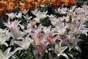 篠山,ユリ園のユリの花の写真素材 [FYI04537546]