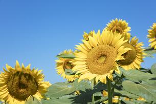 ヒマワリの花の写真素材 [FYI04537578]
