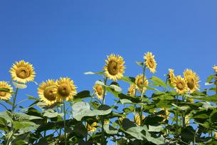 ヒマワリの花の写真素材 [FYI04537581]