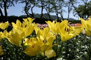 篠山,ユリ園のユリの花の写真素材 [FYI04537589]