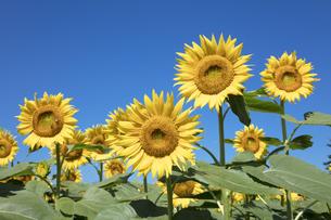 ヒマワリの花の写真素材 [FYI04537613]