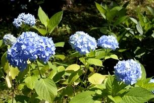 篠山,アジサイ園,アジサイの花の写真素材 [FYI04537621]