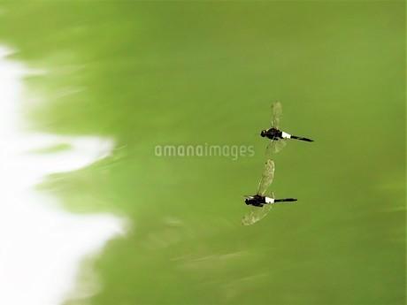 トンボ 2匹 飛行の写真素材 [FYI04537677]