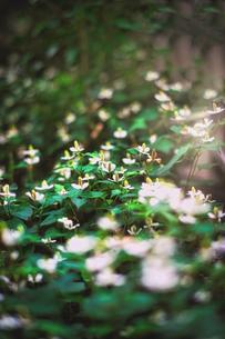 薬草・どくだみの花の写真素材 [FYI04538183]