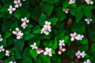 薬草・どくだみの花の写真素材 [FYI04538186]
