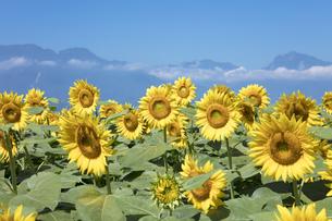 ヒマワリの花畑の写真素材 [FYI04538249]