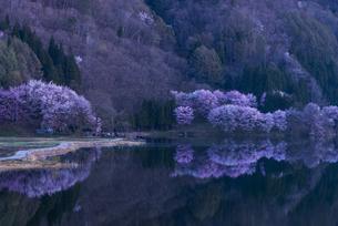 中綱湖の桜の写真素材 [FYI04538653]