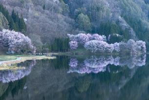 中綱湖の桜の写真素材 [FYI04538656]