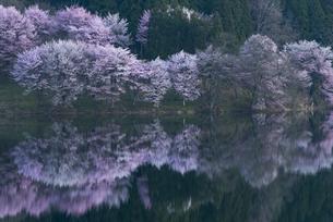 中綱湖の桜の写真素材 [FYI04538658]