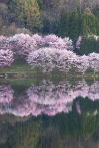 中綱湖の桜の写真素材 [FYI04538660]