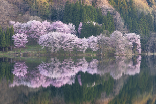 中綱湖の桜の写真素材 [FYI04538662]