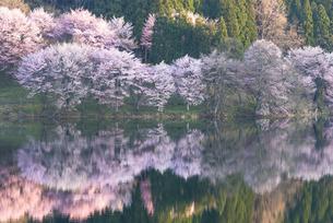 中綱湖の桜の写真素材 [FYI04538665]