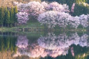 中綱湖の桜の写真素材 [FYI04538666]