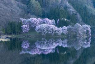中綱湖の桜の写真素材 [FYI04538670]