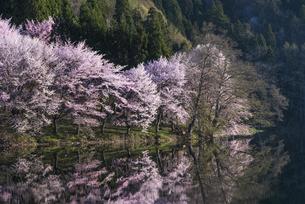 中綱湖の桜の写真素材 [FYI04538671]