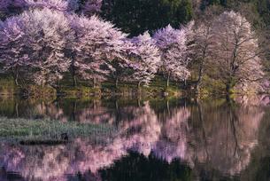 中綱湖の桜の写真素材 [FYI04538677]