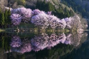 中綱湖の桜の写真素材 [FYI04538678]