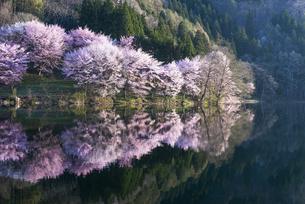 中綱湖の桜の写真素材 [FYI04538680]