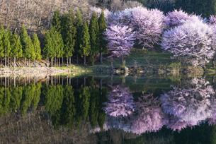 中綱湖の桜の写真素材 [FYI04538684]
