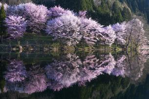 中綱湖の桜の写真素材 [FYI04538687]