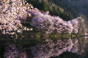 中綱湖の桜の写真素材 [FYI04538688]