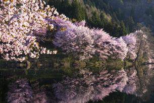 中綱湖の桜の写真素材 [FYI04538689]