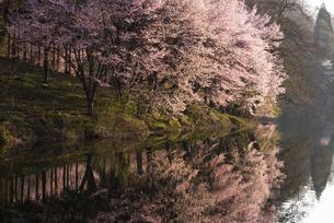 中綱湖の桜の写真素材 [FYI04538690]