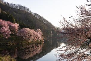 中綱湖の桜の写真素材 [FYI04538691]