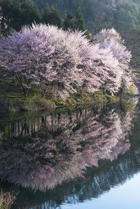 中綱湖の桜の写真素材 [FYI04538694]