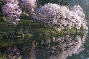 中綱湖の桜の写真素材 [FYI04538698]