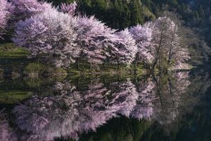 中綱湖の桜の写真素材 [FYI04538703]