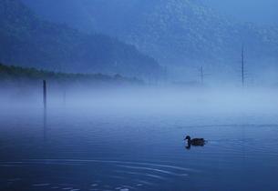 上高地 大正池の鴨 朝霧の写真素材の写真素材 [FYI04538707]
