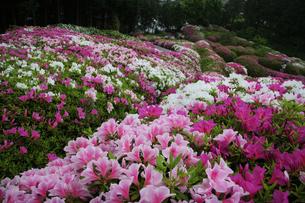 京都 宇治三室戸寺 ツツジの丘の写真素材の写真素材 [FYI04538708]