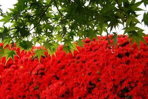 京都 長岡天満宮 霧島ツツジと青もみじの写真素材の写真素材 [FYI04538709]