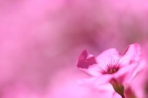 ピンク色の花の写真素材 [FYI04538729]