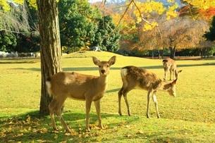 秋の奈良公園と鹿の写真素材 [FYI04538995]