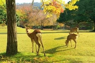 秋の奈良公園と鹿の写真素材 [FYI04539001]