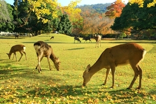 秋の奈良公園と鹿の写真素材 [FYI04539002]