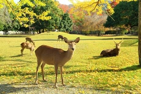 秋の奈良公園と鹿の写真素材 [FYI04539006]