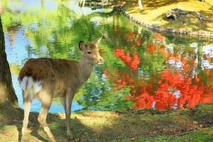 秋の奈良公園と鹿の写真素材 [FYI04539011]