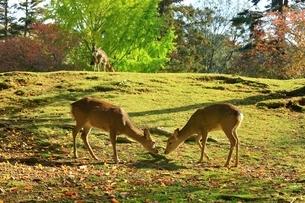 秋の奈良公園と鹿の写真素材 [FYI04539017]