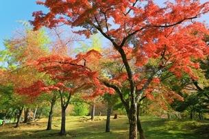 秋の奈良公園と鹿の写真素材 [FYI04539021]