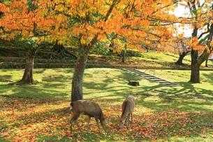 秋の奈良公園と鹿の写真素材 [FYI04539028]