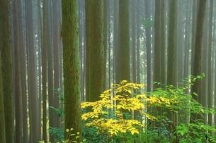 杉林と霧の写真素材 [FYI04539163]