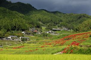 奈良県明日香村のヒガンバナの写真素材 [FYI04539274]