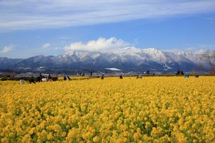菜の花畑と蓬莱山系雪景色の写真素材 [FYI04539574]