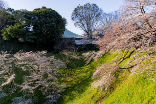 千鳥ヶ淵公園の満開の桜の写真素材 [FYI04539667]