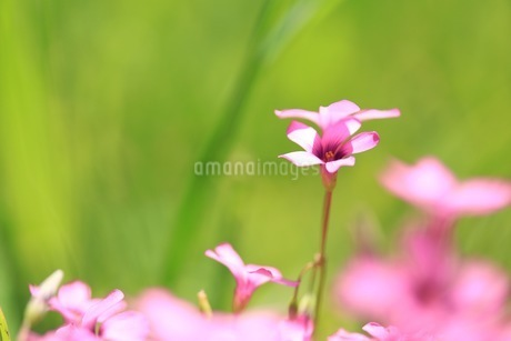 原っぱの花 ピンクの花の写真素材 [FYI04539728]