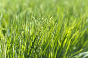 夏の水田の稲の写真素材 [FYI04540166]