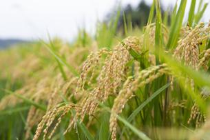 秋に実った稲の写真素材 [FYI04540168]
